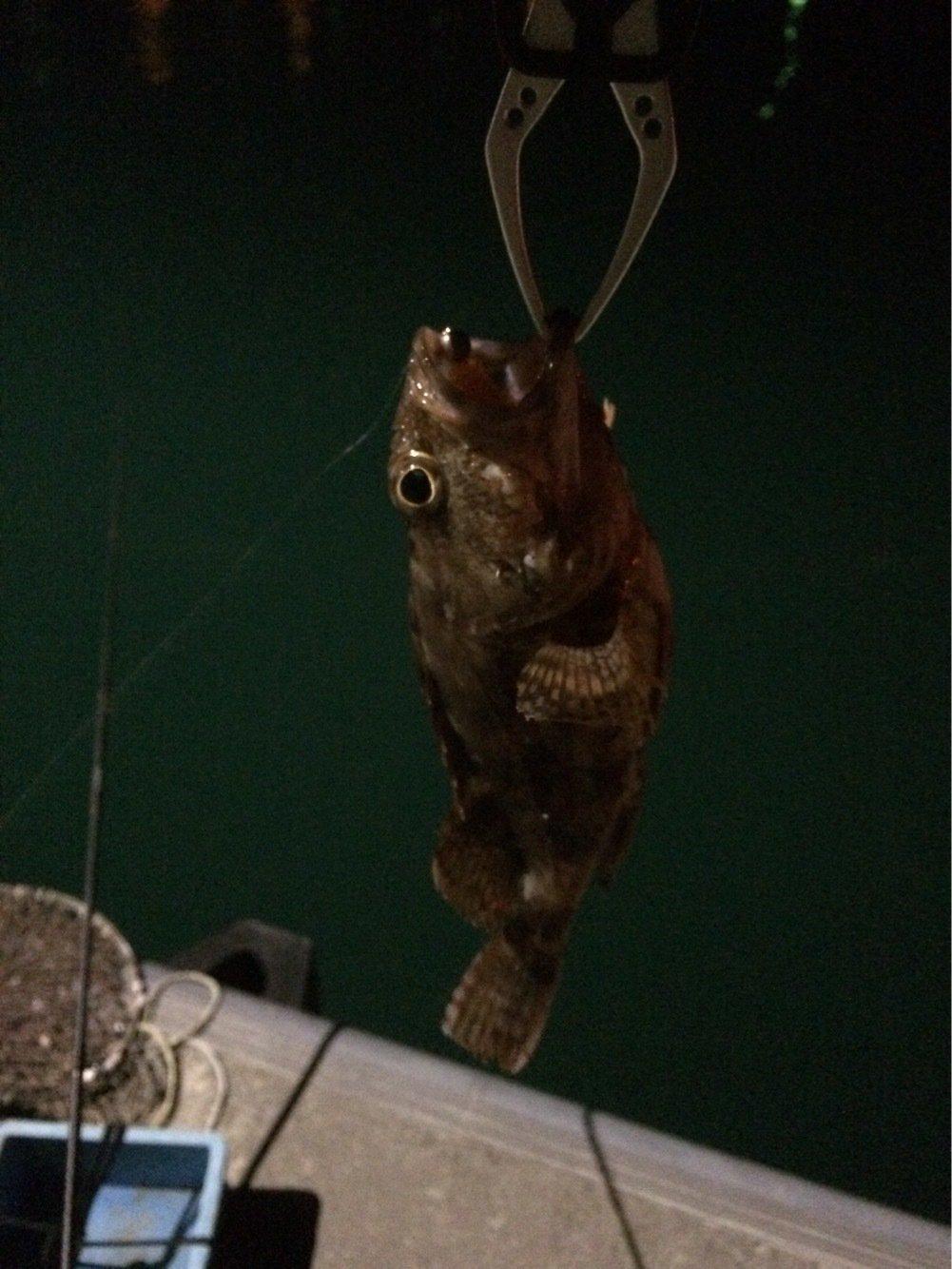 ちきちきさんの投稿画像,写っている魚はカサゴ