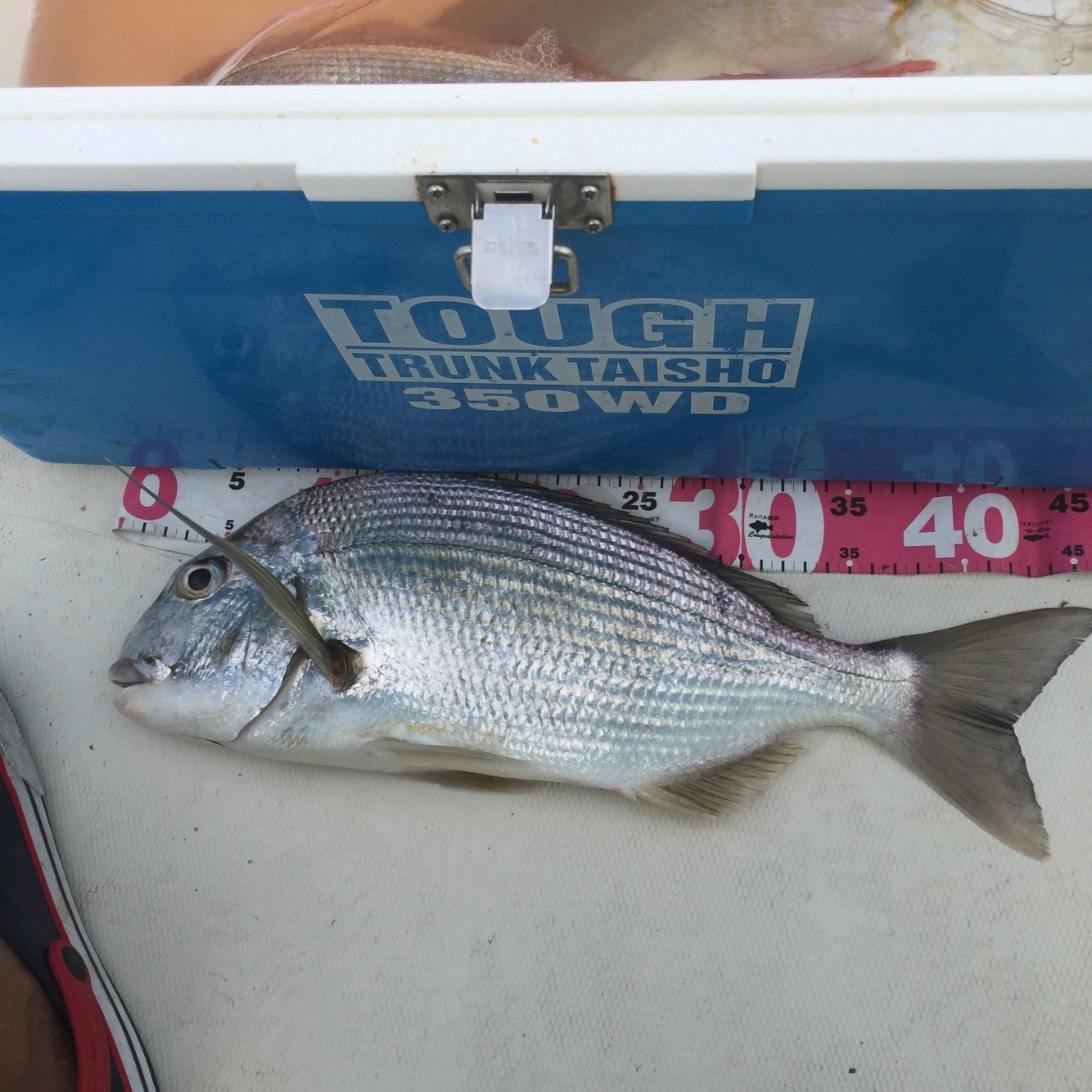 がさちんさんの投稿画像,写っている魚はヘダイ