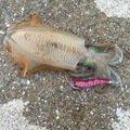 たーニャさんの福岡県古賀市でのアオリイカの釣果写真