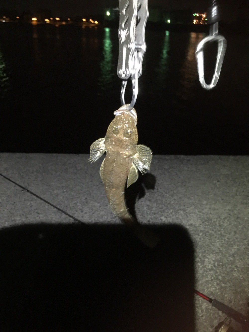 エギンガーさんの投稿画像,写っている魚はアオリイカ
