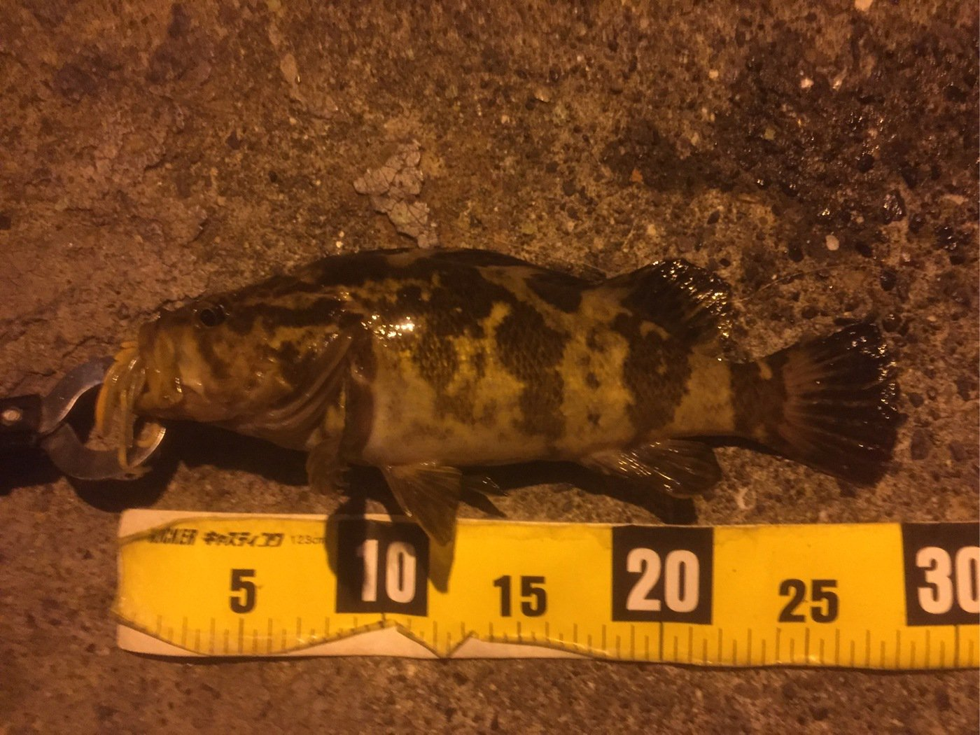 なにいろさんの投稿画像,写っている魚はタケノコメバル