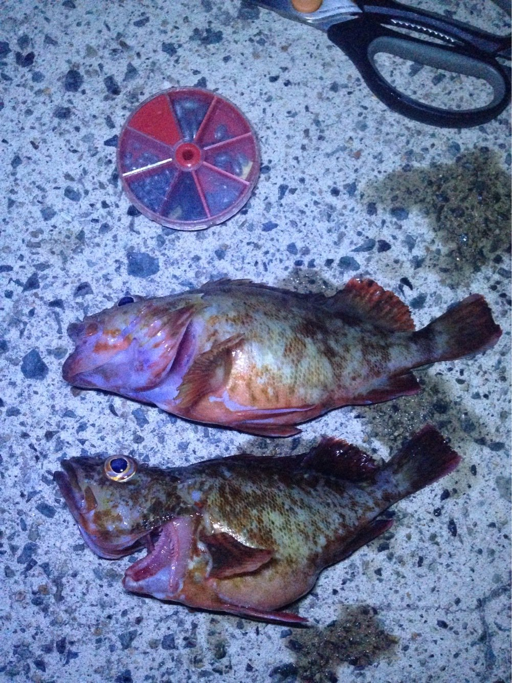 パンクンさんの投稿画像,写っている魚はカサゴ