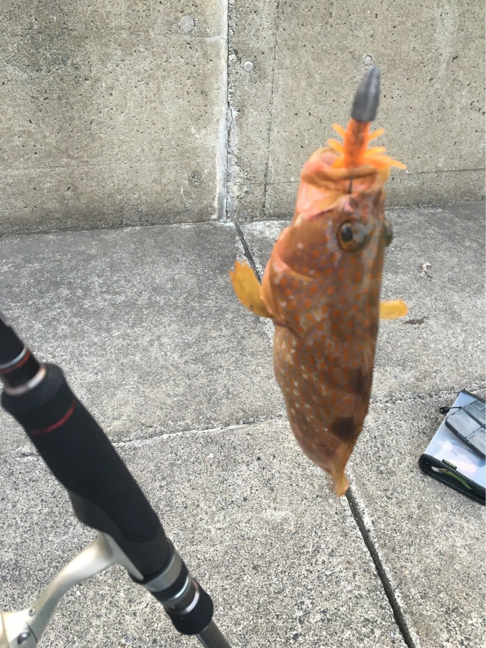 琵琶湖Basserさんの投稿画像,写っている魚はキジハタ
