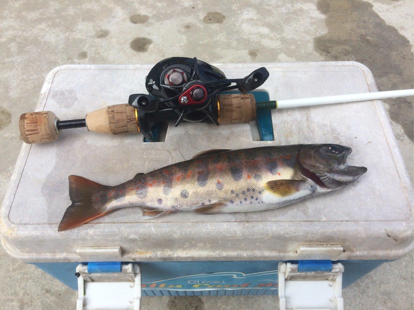 nさんの投稿画像,写っている魚はシロギス