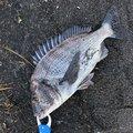 s.k南房さんの千葉県館山市でのクロダイの釣果写真