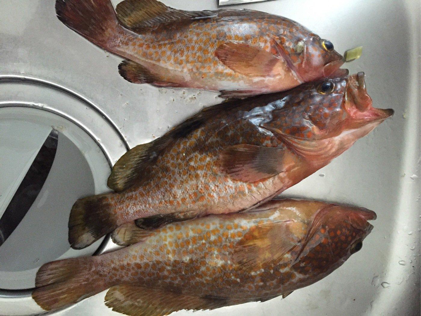 METAL.JIGさんの投稿画像,写っている魚はキジハタ