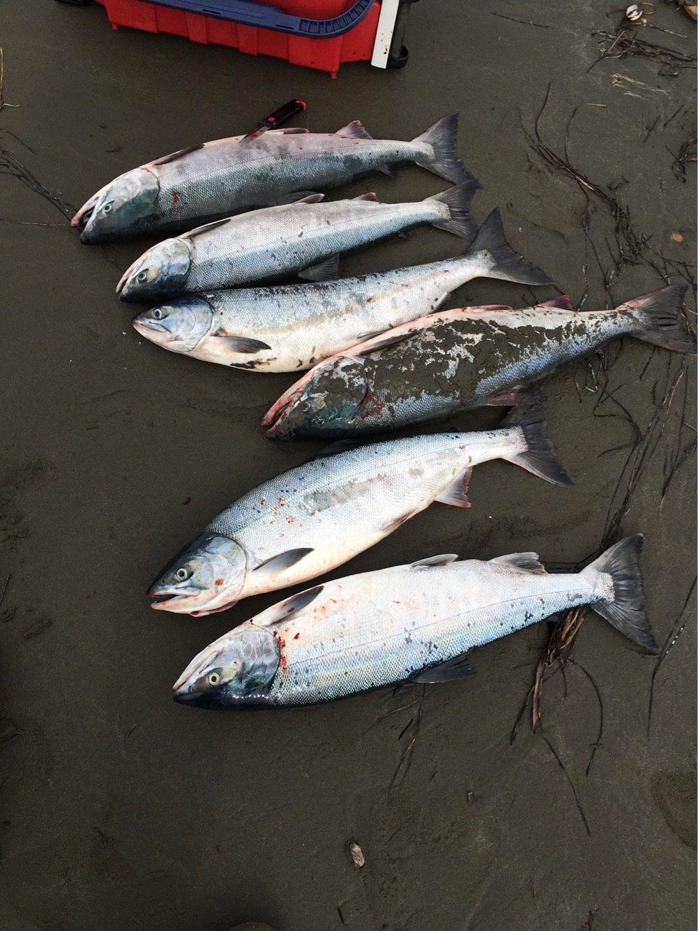 むらひろさんの投稿画像,写っている魚はサケ