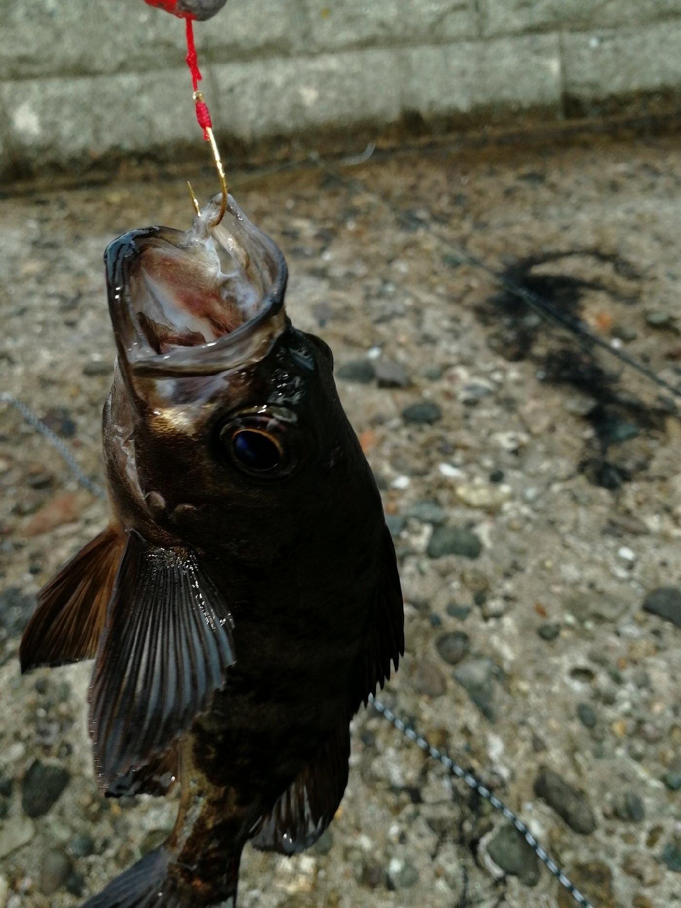 326さんの投稿画像,写っている魚はメバル