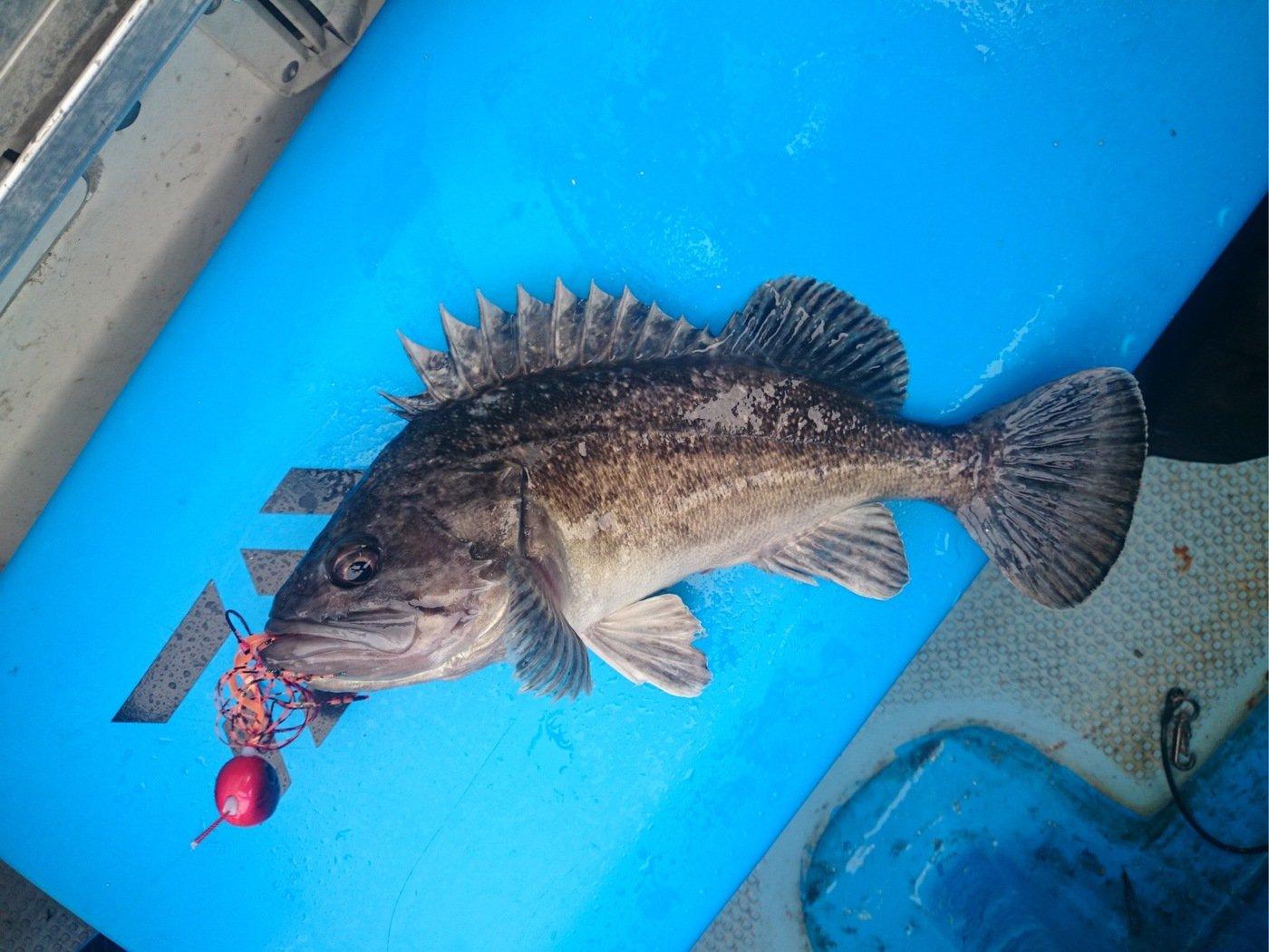 むらひろさんの投稿画像,写っている魚はクロソイ