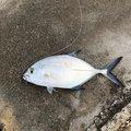 ムッシューむらむらさんの沖縄県でのカスミアジの釣果写真