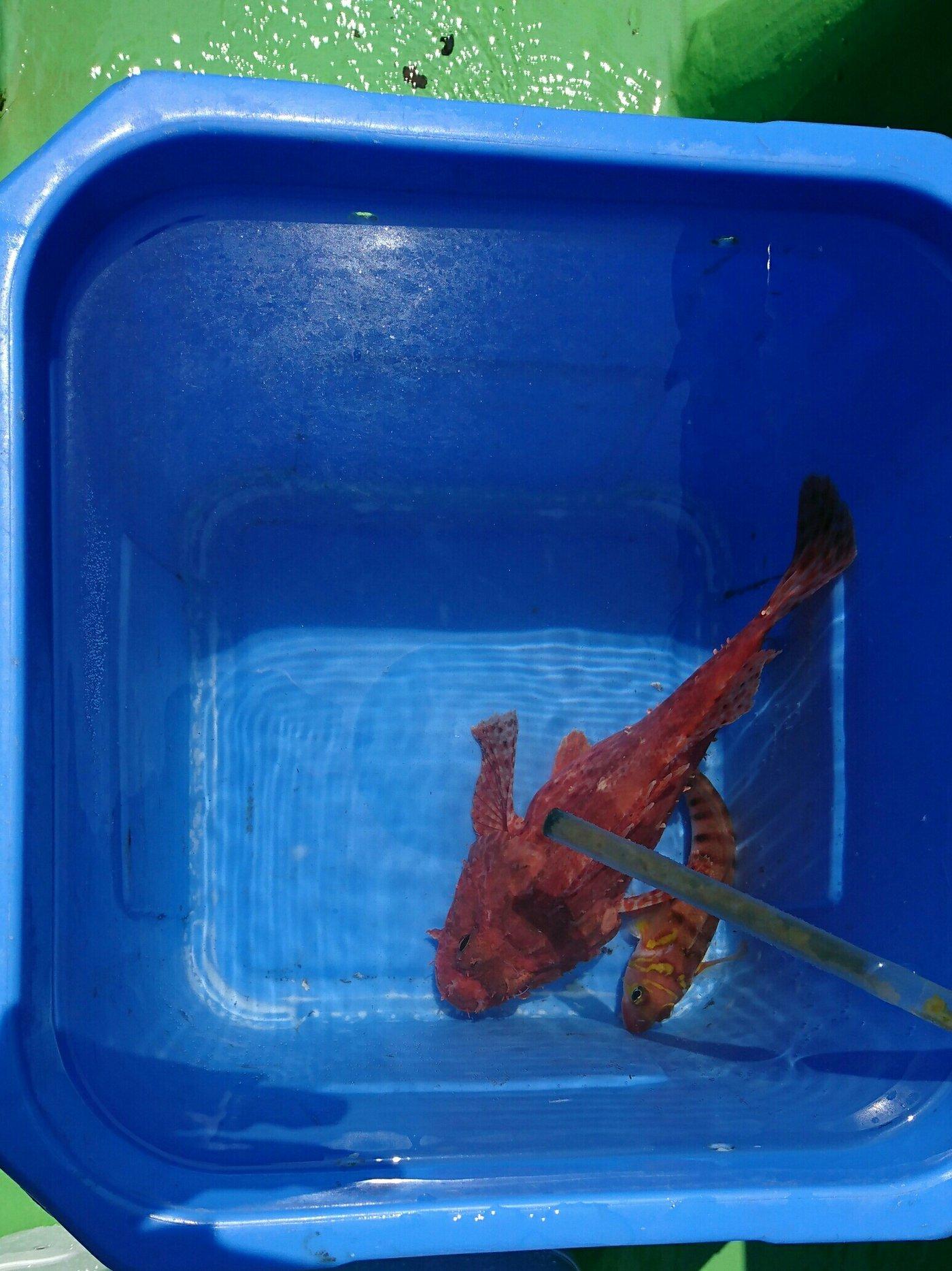 ちんたろうさんの投稿画像,写っている魚はオニカサゴ