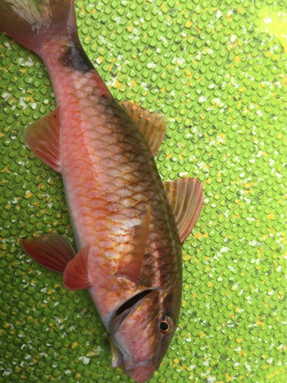 わたるさんの投稿画像,写っている魚はオジサン