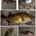 ショウ・アズナブルZeakeさんの静岡県伊豆市でのカサゴの釣果写真