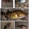 SHOさんの静岡県伊豆市でのカサゴの釣果写真