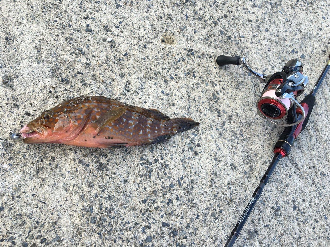 ノックさんの投稿画像,写っている魚はキジハタ