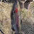 ためぞうさんの宮城県刈田郡での釣果写真