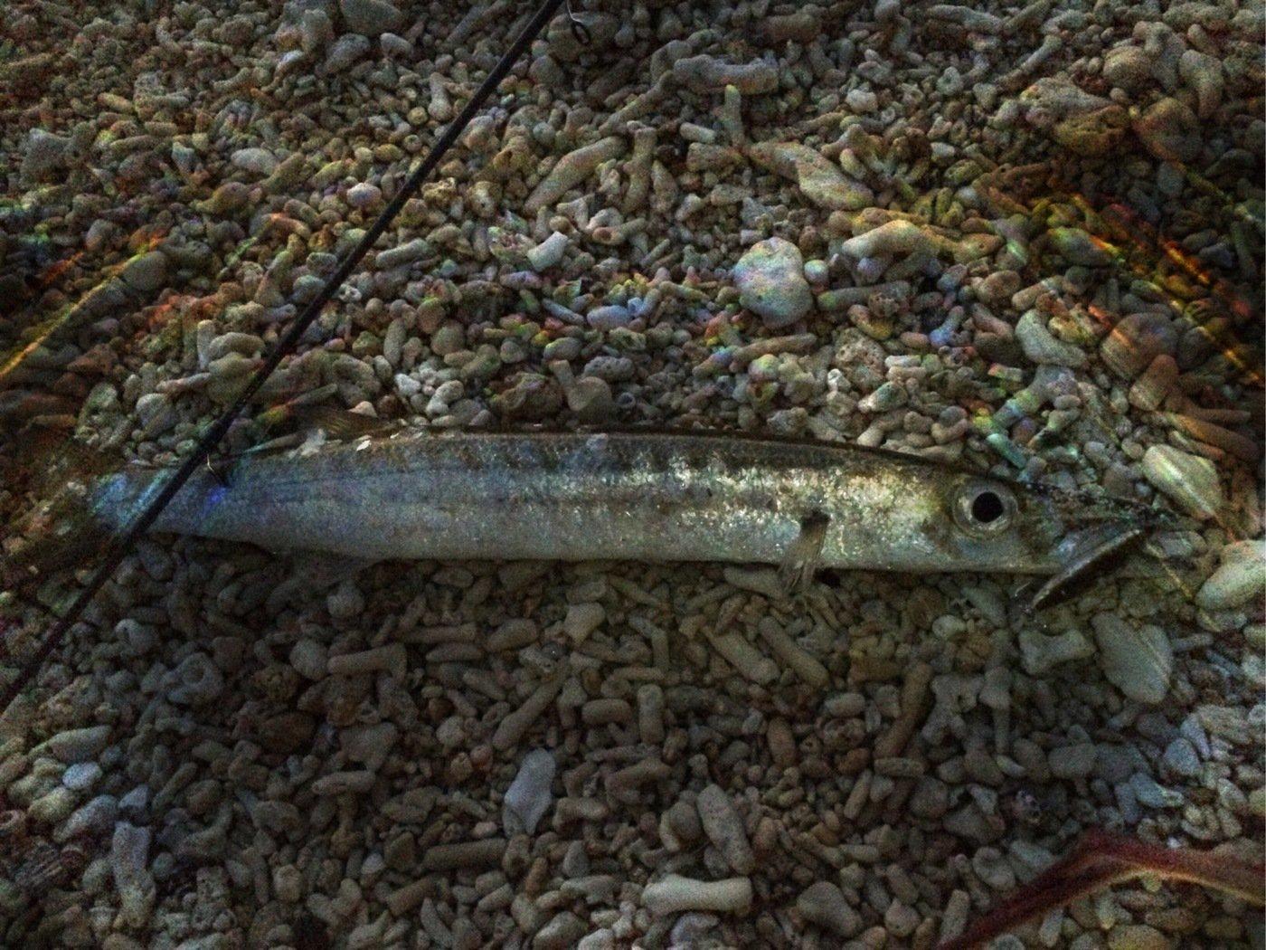 マカロンさんの投稿画像,写っている魚はタイワンカマス