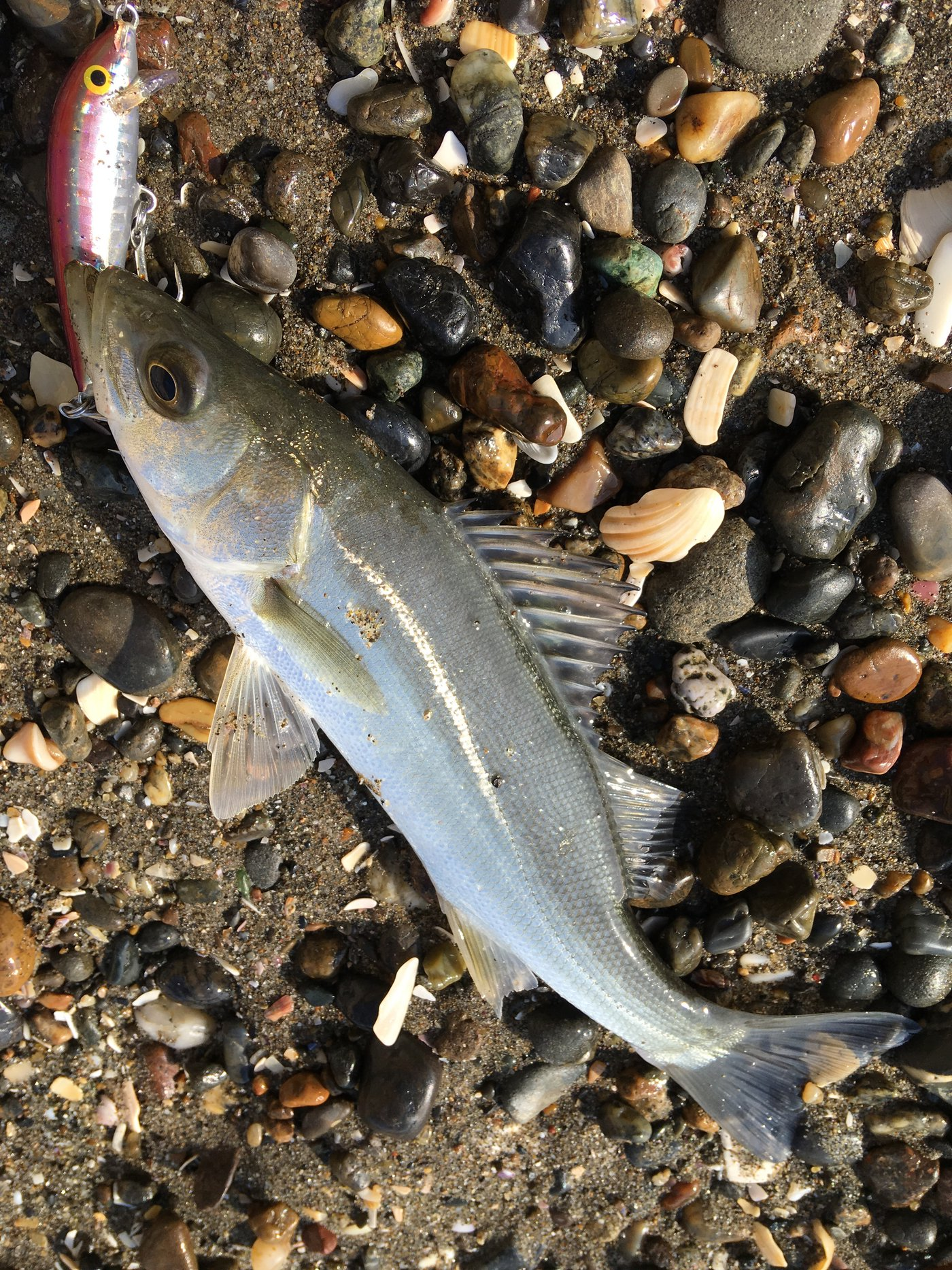 hachiさんの投稿画像,写っている魚はスズキ