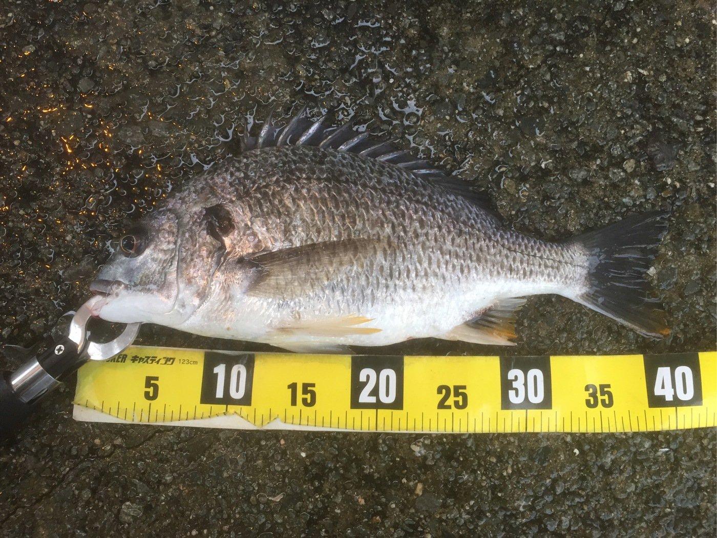 なにいろさんの投稿画像,写っている魚はキチヌ