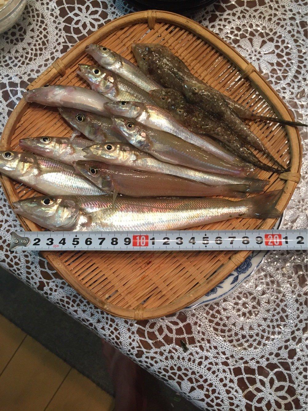 しんのすけさんの投稿画像,写っている魚はシロギス