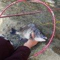 KGさんの千葉県館山市でのクロダイの釣果写真