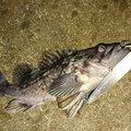 釣りマンさんの新潟県柏崎市での釣果写真