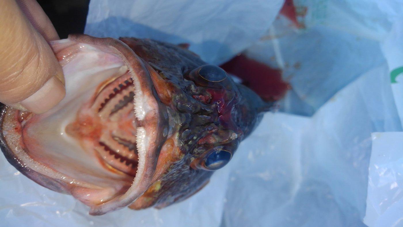 憲司さん@爆釣祈願さんの投稿画像,写っている魚はカサゴ