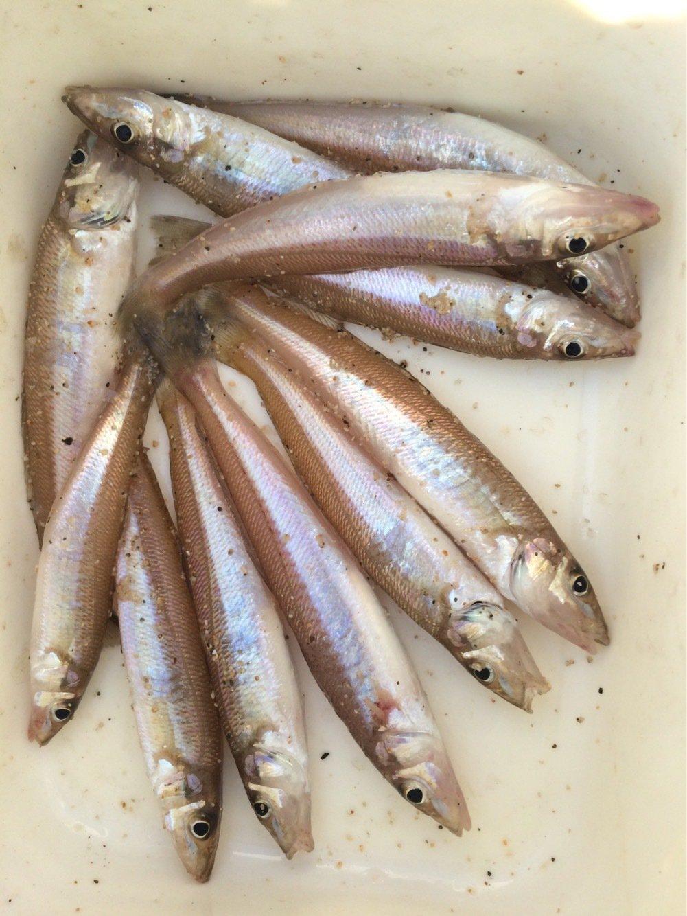 おっちょさんの投稿画像,写っている魚はシロギス
