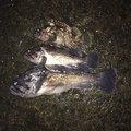チームキチガイ2さんの青森県青森市でのソイの釣果写真