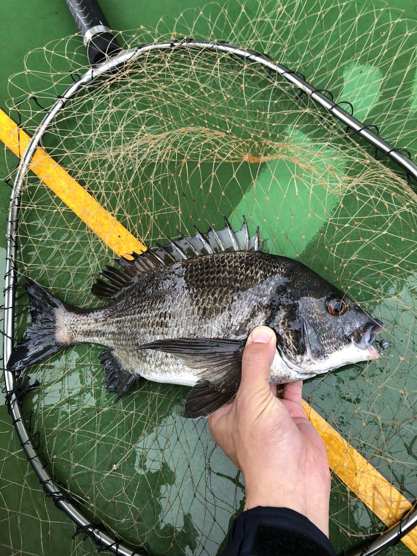 ラテス81さんの投稿画像,写っている魚はクロダイ