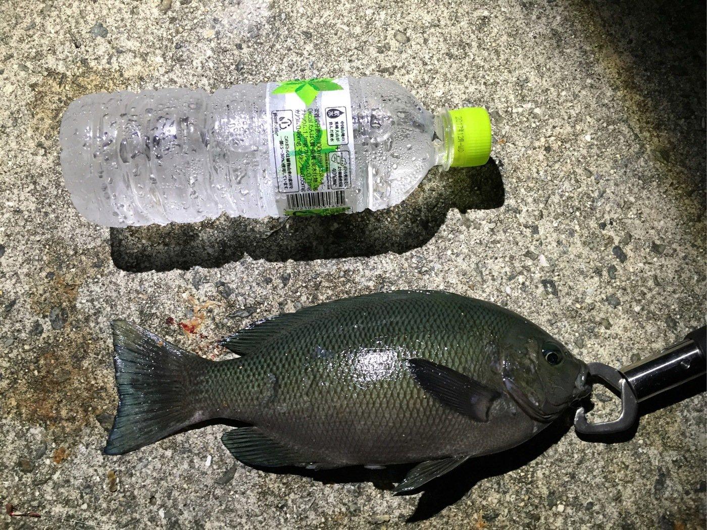 akipapaさんの投稿画像,写っている魚はクロメジナ