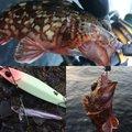 かいさんの神奈川県横浜市でのカサゴの釣果写真