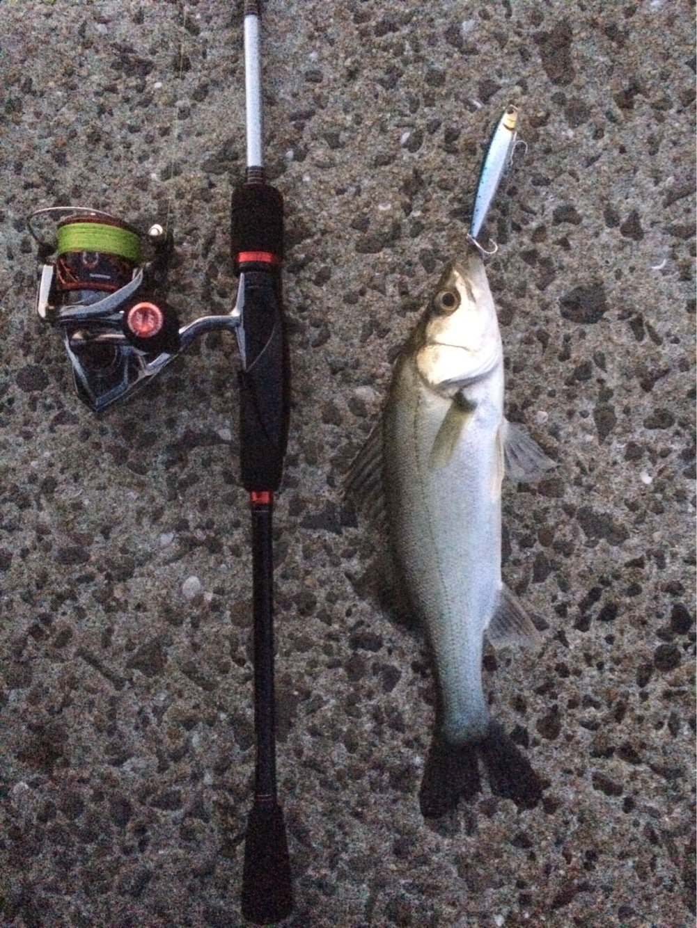 Tbsmanさんの投稿画像,写っている魚はスズキ