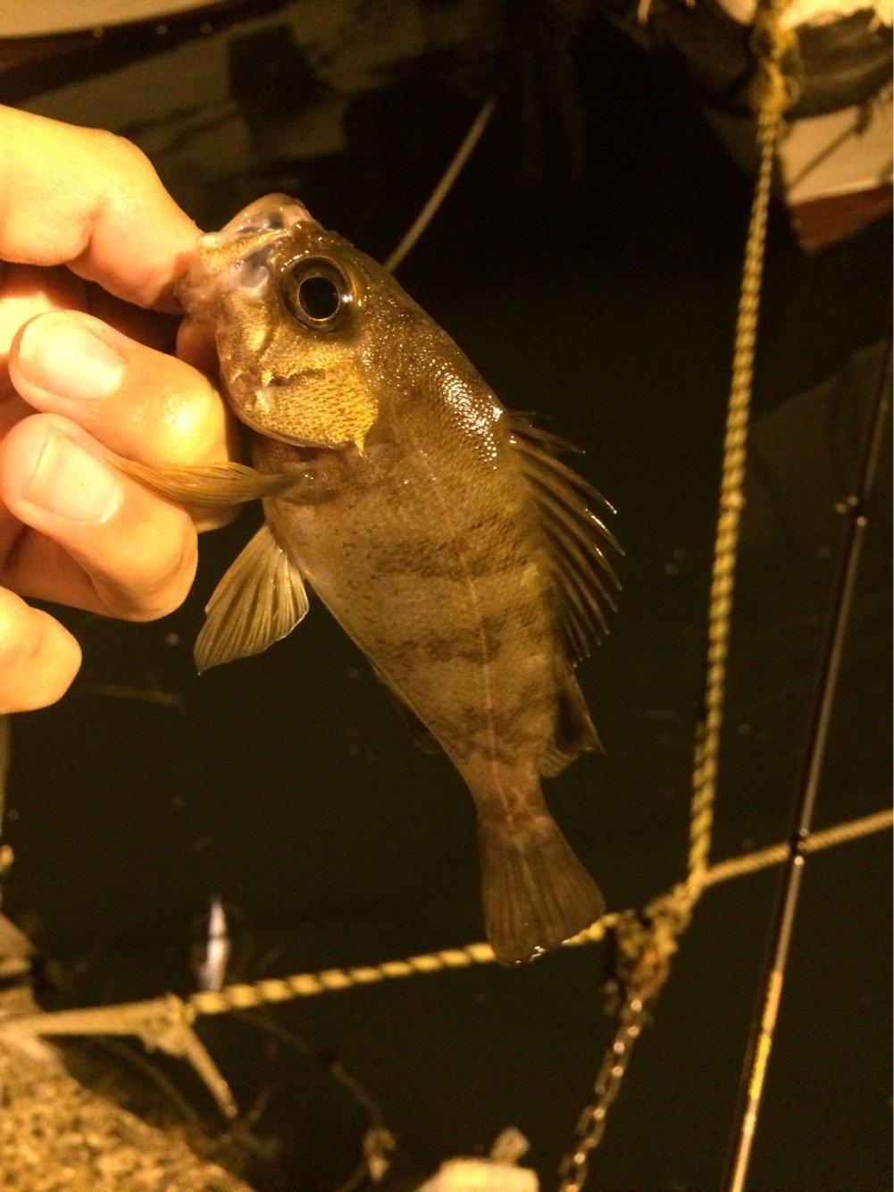 エンドウさんの投稿画像,写っている魚はシロメバル