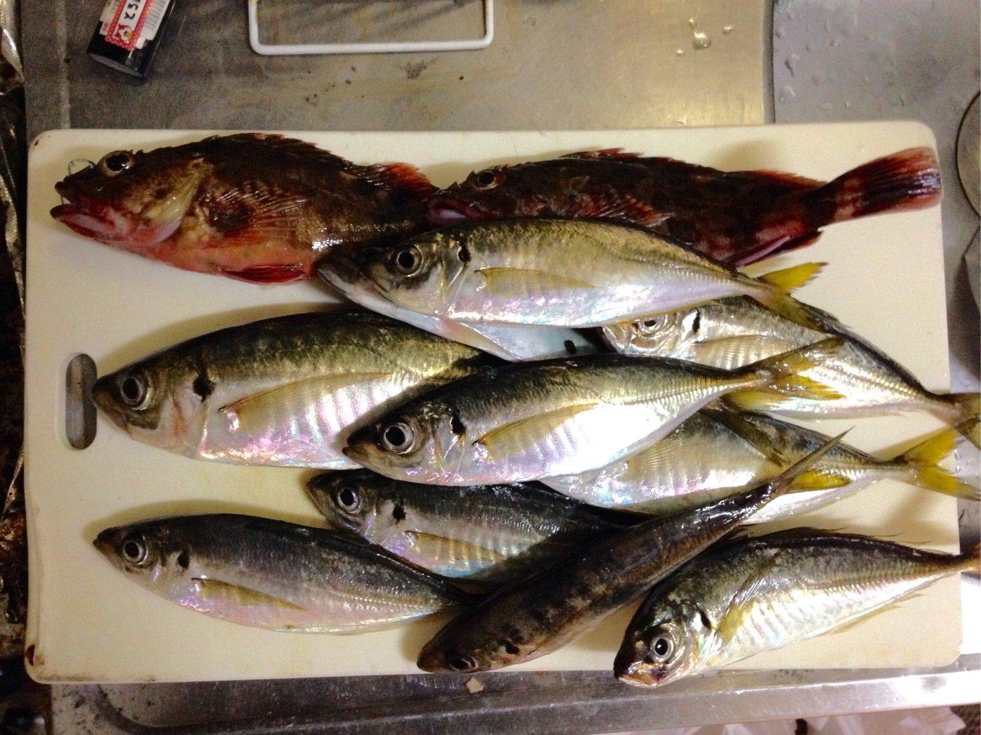ヘナ・チョコ彦さんの投稿画像,写っている魚はアジ
