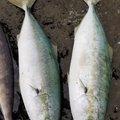 Yoshitakaさんの北海道爾志郡での釣果写真