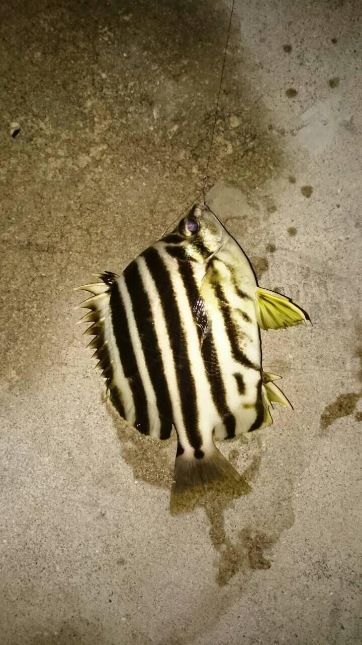 まりこさんの投稿画像,写っている魚はカゴカキダイ