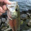 雅洋さんの滋賀県高島市での釣果写真