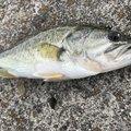 みつふじ だいきさんの滋賀県高島市での釣果写真