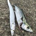 せいたドットコムさんの兵庫県でのタチウオの釣果写真