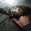 Moriさんの愛知県常滑市でのタケノコメバルの釣果写真