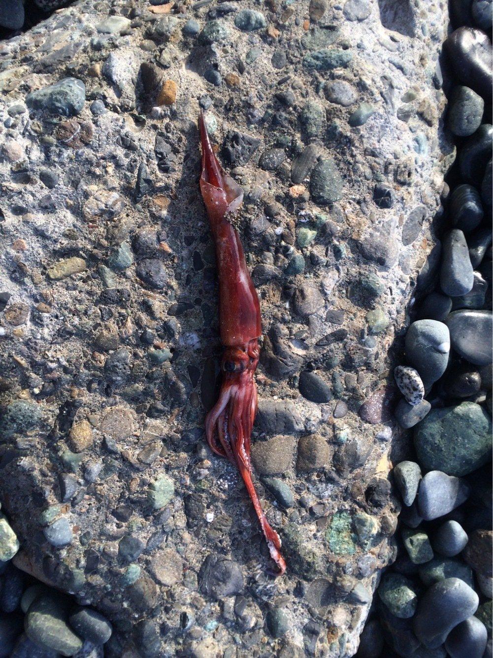 ホッシーさんの投稿画像,写っている魚はアカイカ