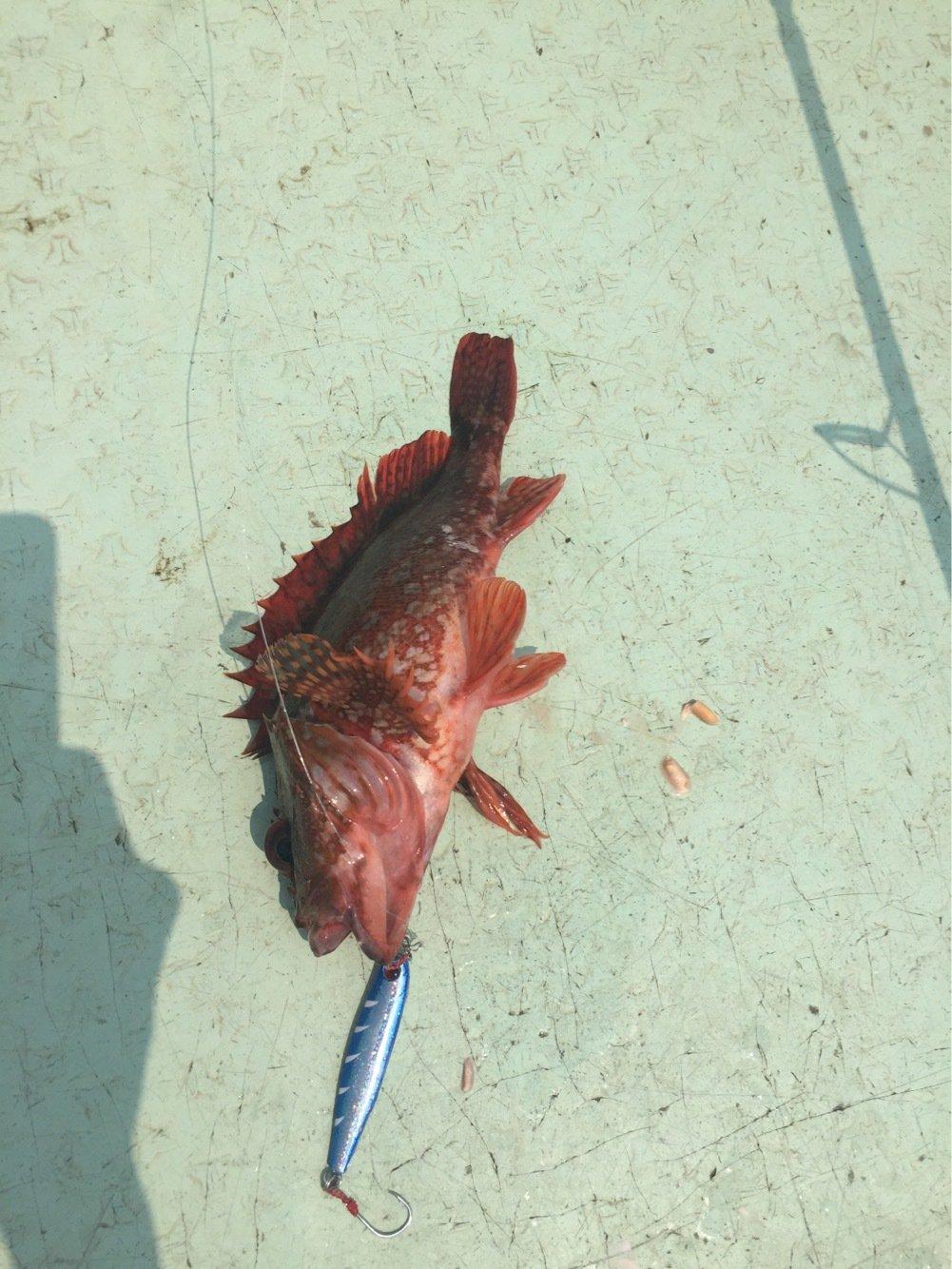 ユキヤさんの投稿画像,写っている魚はカサゴ