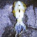 BONさんの静岡県伊東市でのアオリイカの釣果写真
