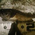 カチュアさんの北海道でのクロソイの釣果写真