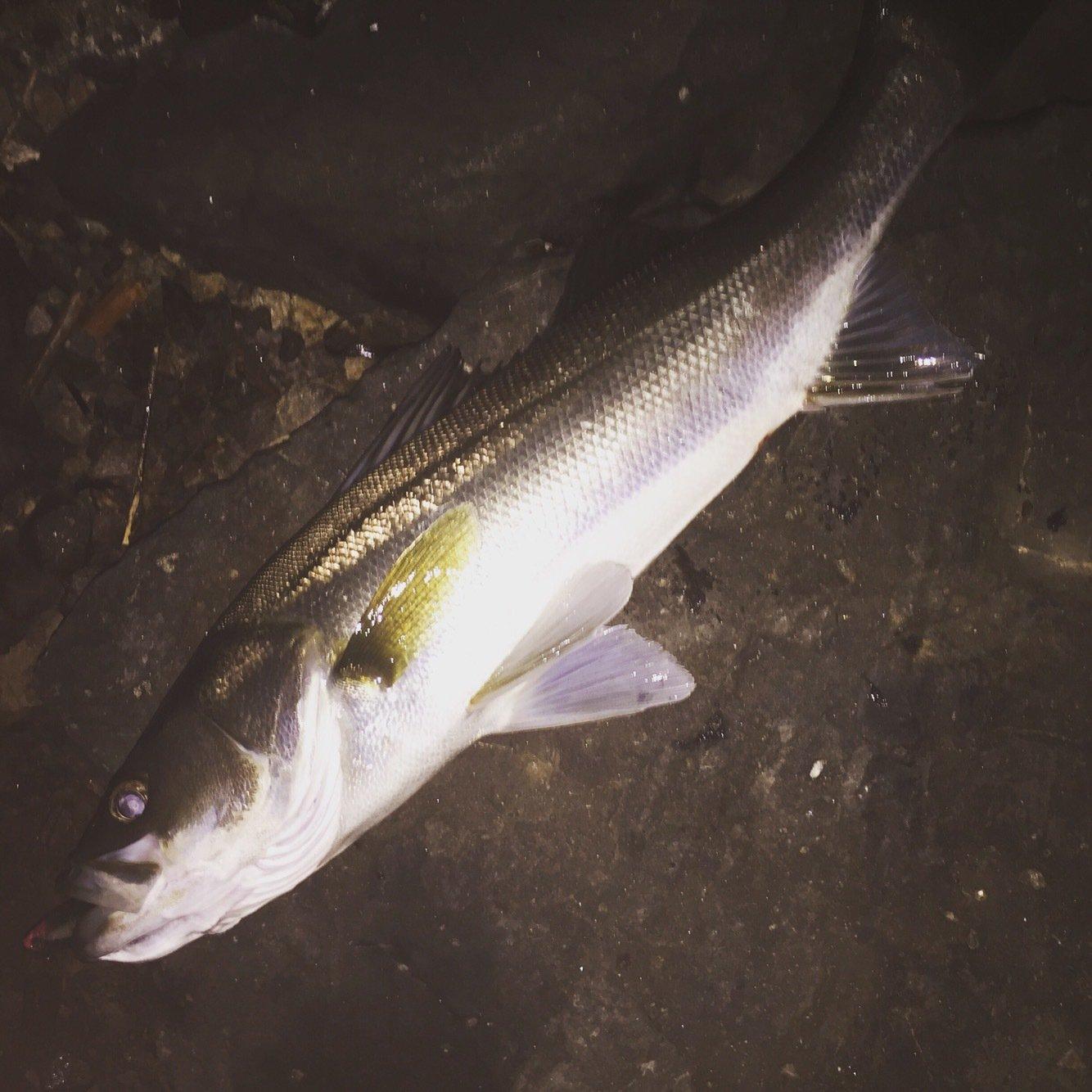 たくちゃんさんの投稿画像,写っている魚はスズキ