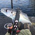 カズピトさんの兵庫県三木市での釣果写真