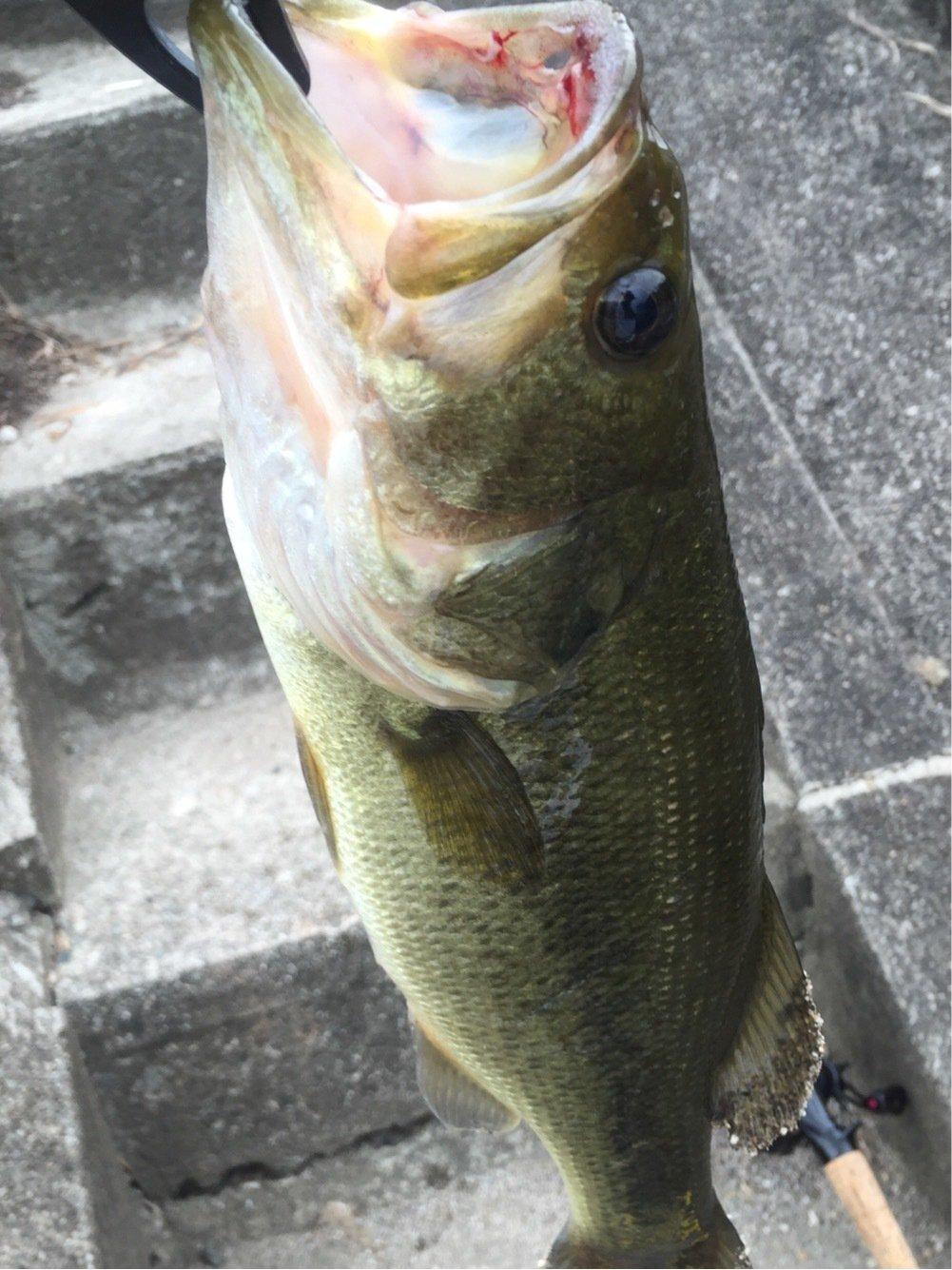 UGTさんの投稿画像,写っている魚はブラックバス