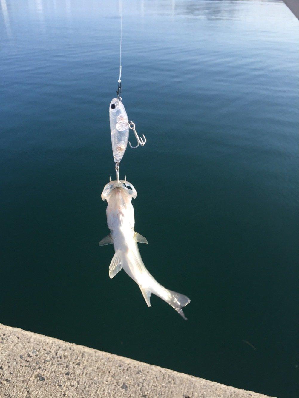 豚骨あんどうさんの投稿画像,写っている魚はスズキ