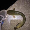 にゃんてぃ〜さんの滋賀県彦根市での釣果写真